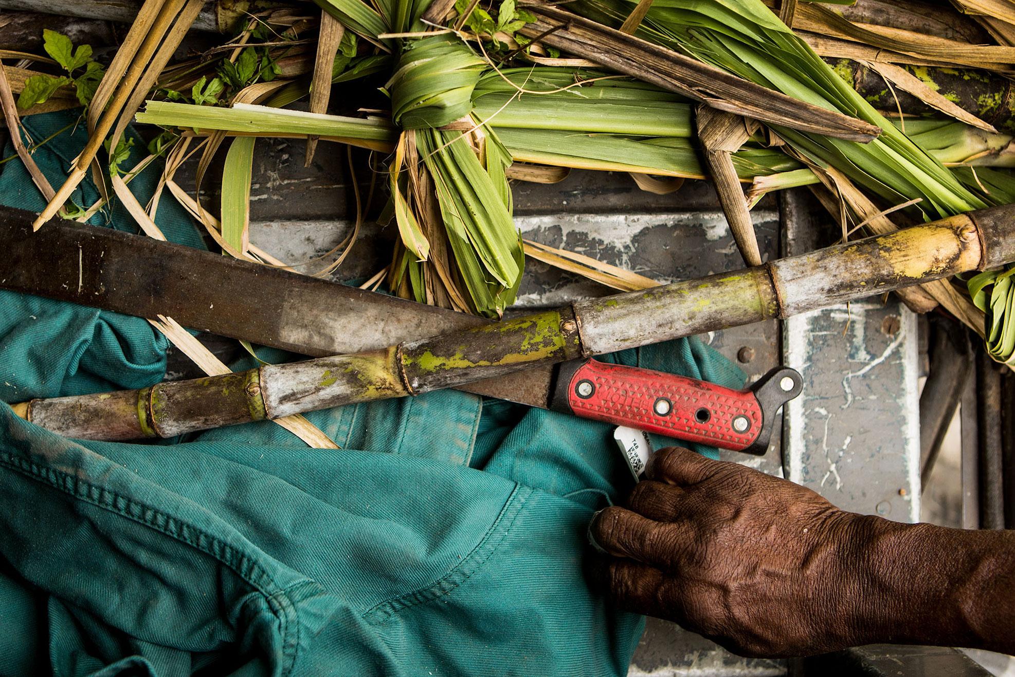 sugarcane at JM Rhum, Martinique