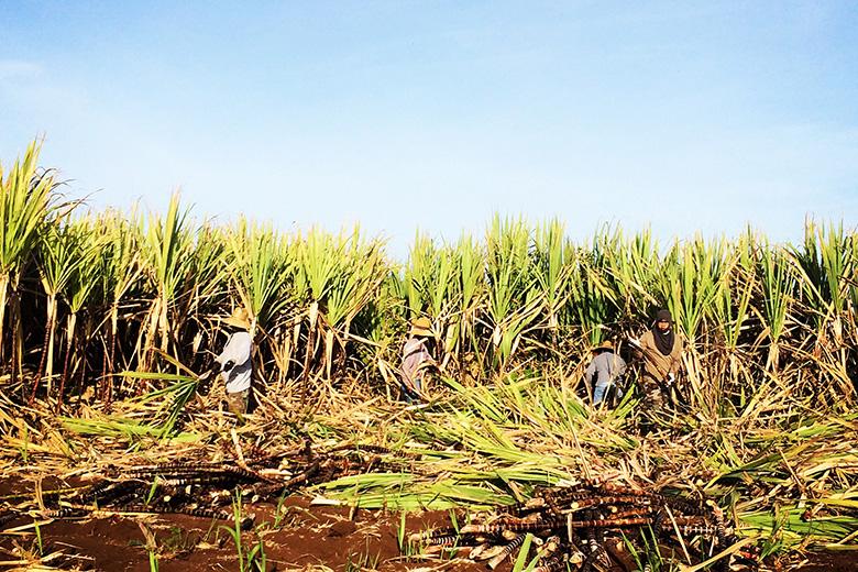 Manulele sugar cane being harvested rum hawaii